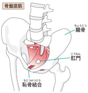 子宮頸管が短いと言われて鍛えたい骨盤底筋